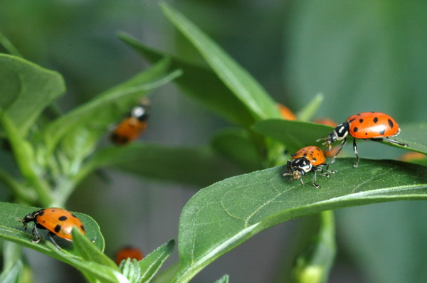 ladybug bugs insects aphids beneficial plants peppers